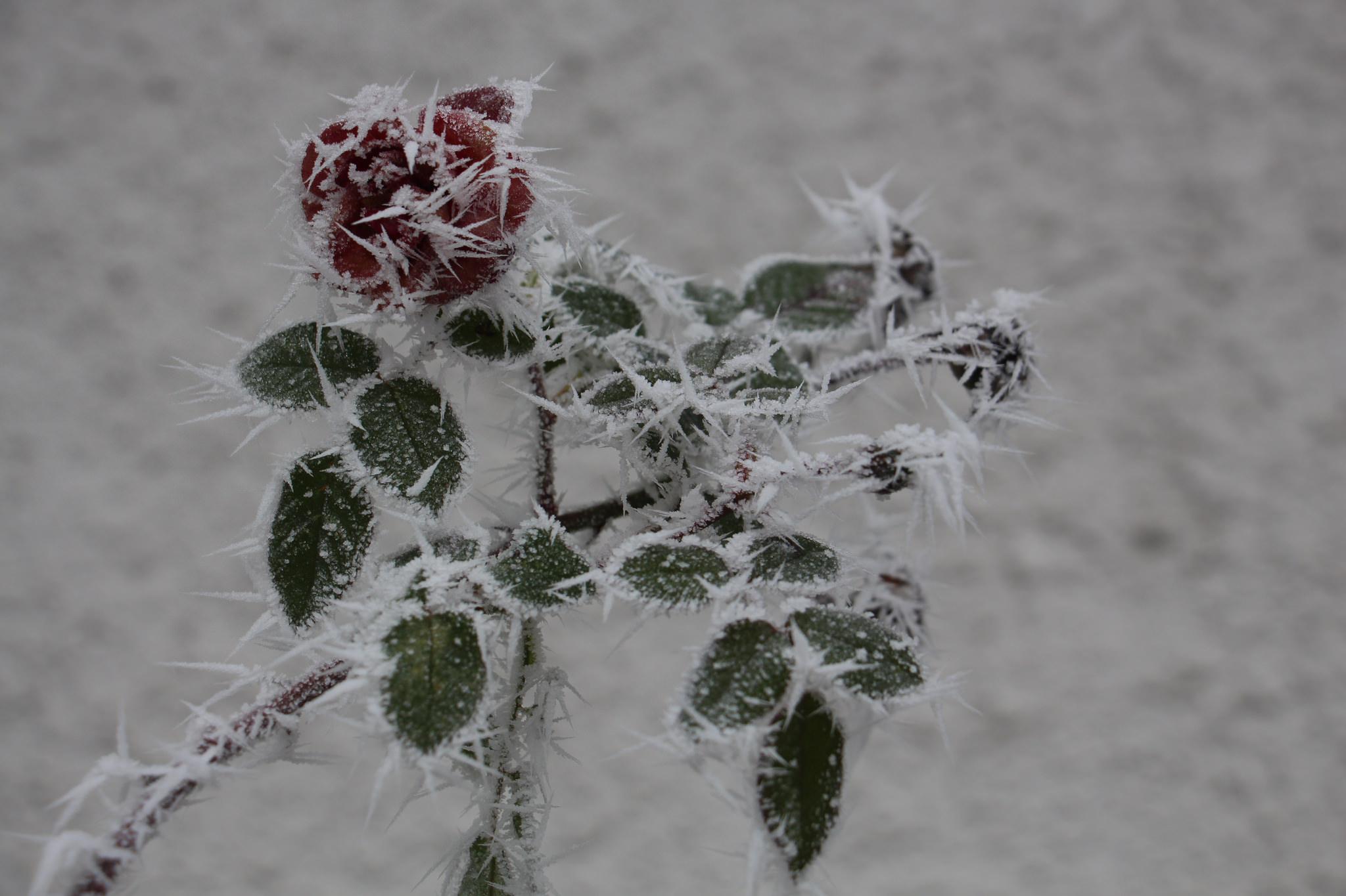 leil.de/di/pics/rose_im_winter.jpg