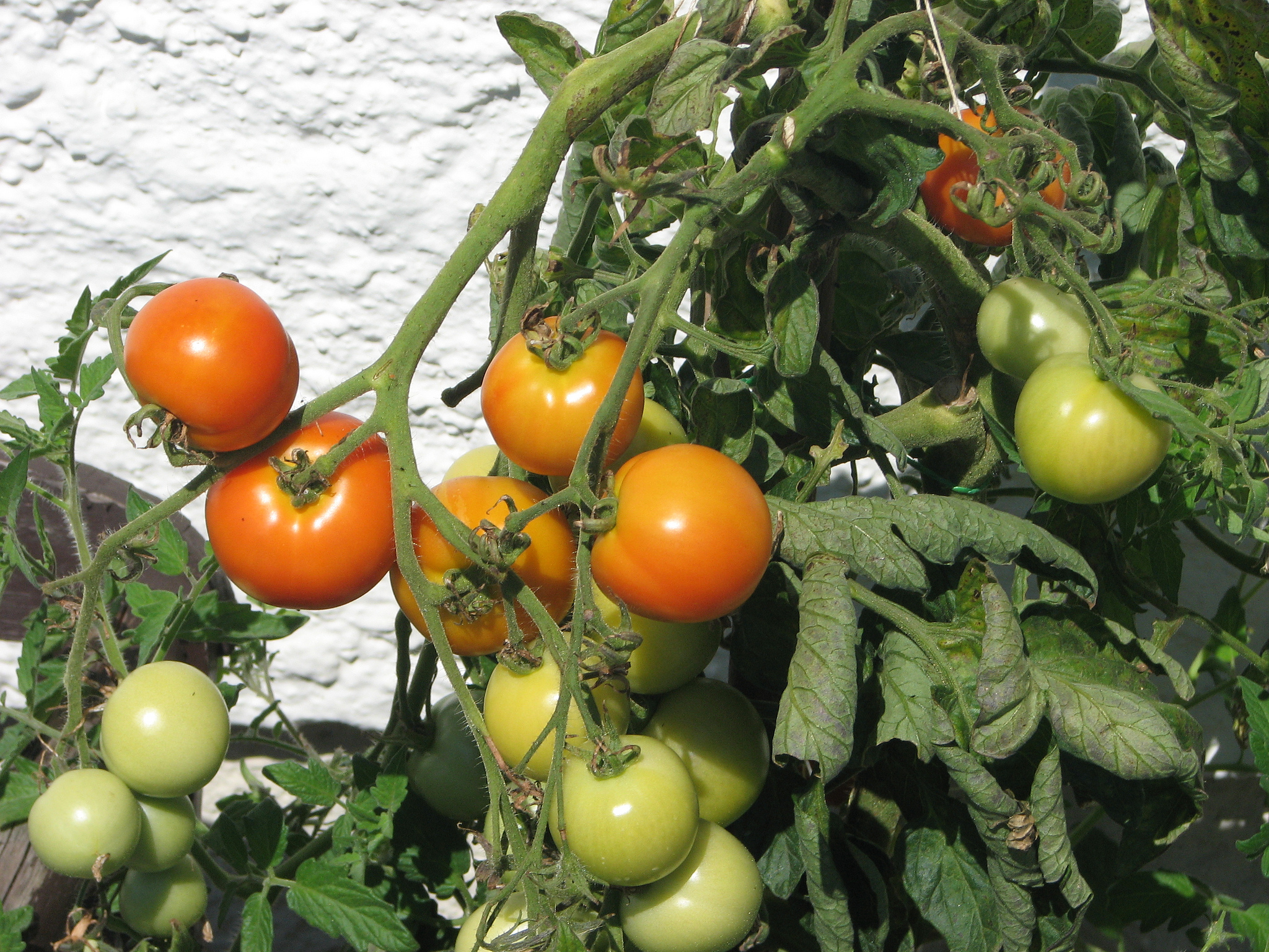 leil.de/di/pics/tomaten_gruen_rot_12.jpg